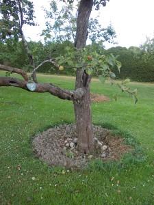 Behandling av äppelträd. Det sjuka tas bort och håligheter skapas.Tvinnade gräsnystan läggs runt rötterna. Före planteringen har en ordetntlig odlingsbädd skapats. Par meter i diameter och 1,5 m djup.