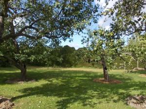 Äppelträdgård med skyddande granhäck