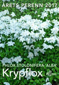 Krypflox, Phlox stolonifera ´Alba´, har utsetts till Årets perenn 2017