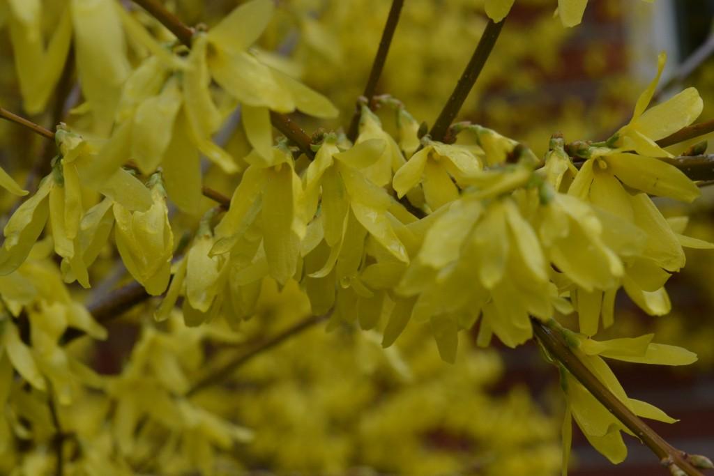 Blommande Forsythia