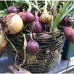 Bilden visar en stor korg fylld med olika färggranna grönsaker
