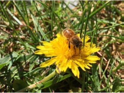 Honungsbi på maskros